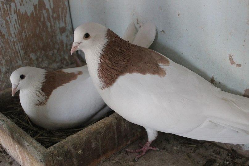 Голубка высиживает яйца, а голубь её охраняет от надоедливой женщины с фотоаппаратом)