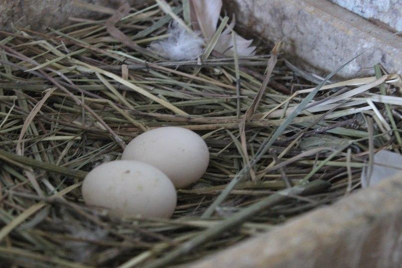 Голуби ВСЕГДА откладывают ДВА яйца