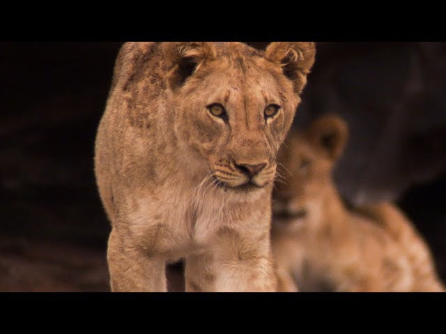 Finding the world's most unusual Lions - Natural World: Desert Lions - BBC Earth