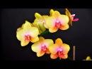 Дачники Выпуск 3 Уход за орхидеями заготовка черенков