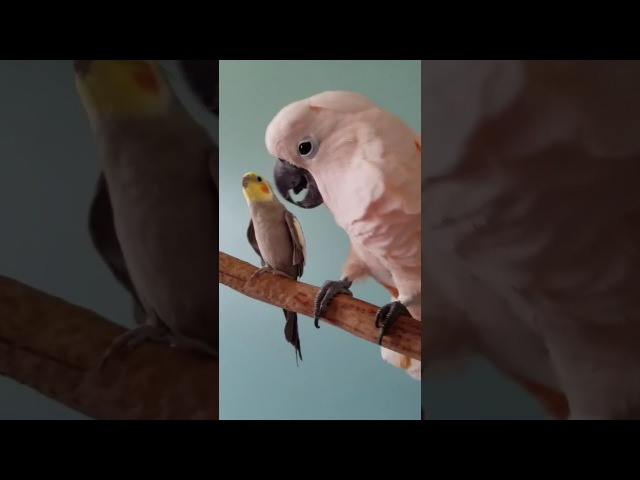 Cockatoo preening Cockatiel