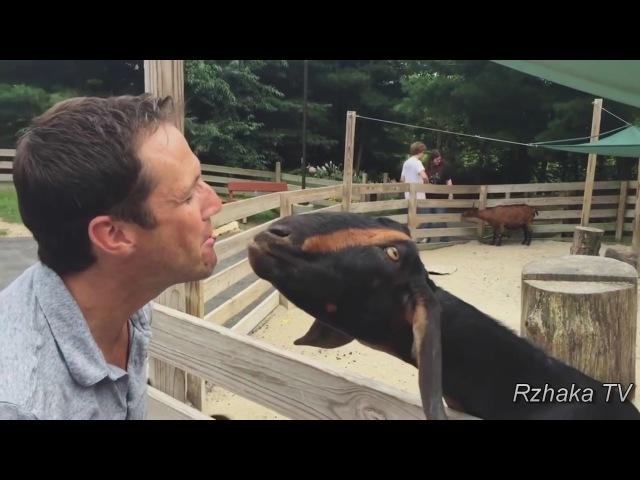 ПОПРОБУЙ НЕ ЗАСМЕЯТЬСЯ - Смешные Приколы и фейлы с Животными до слез, Смешные козлы, Funny goats 67