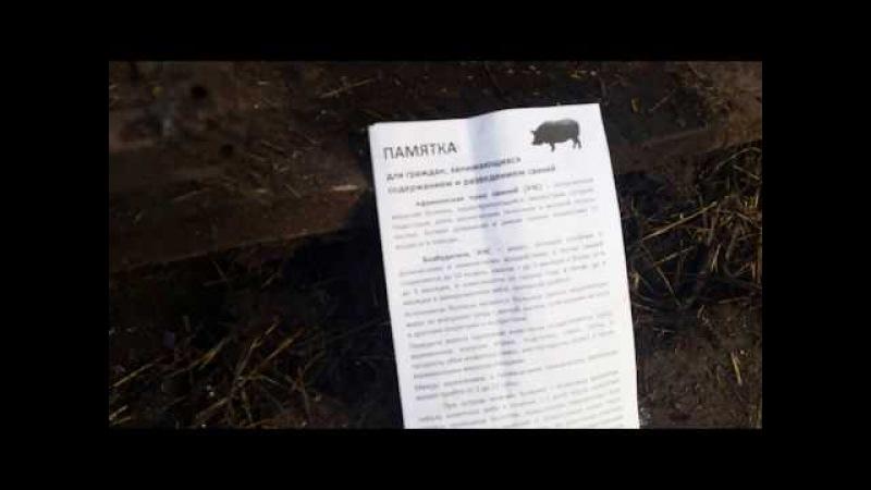Африканская чума свиней в Челябинской области