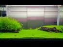 Cuba Hemianthus callitrichoides plant aquarium 90 45 45 cm