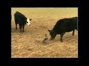 Гусь против быков!