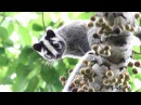 Masked palm civet Гималайская циветта Paguma larvata