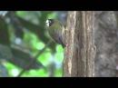 White faced robin Черноголовая бледнолицая мухоловка Tregellasia leucops