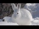 Охота на зайца без ружья