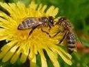 Лесные сказки. Пчелы и чем они занимаются.
