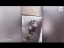 Житель  Перу снял на видео крысу, которая намыливалась мылом.