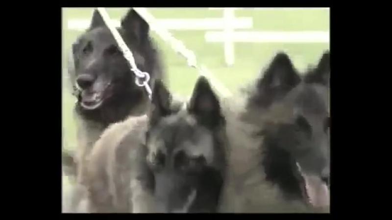 Бельгийская овчарка Все о породе