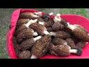 Собрали грибы сморчки Рязанский район Мурмино