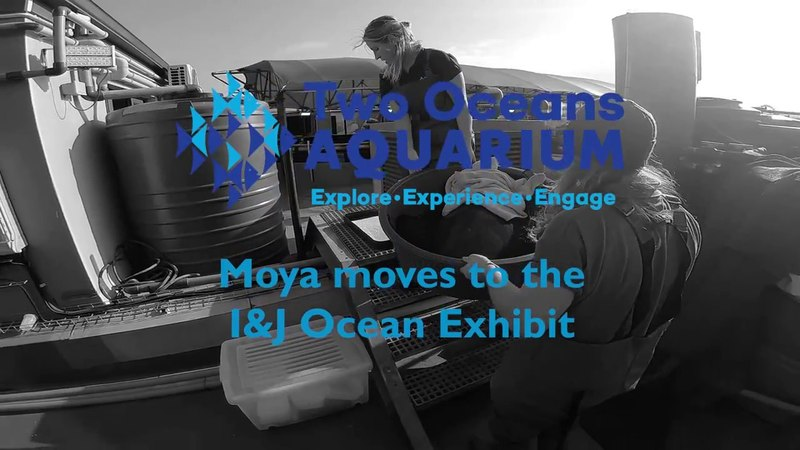 Moya the green turtles first ever swim in the IJ Ocean Exhibit