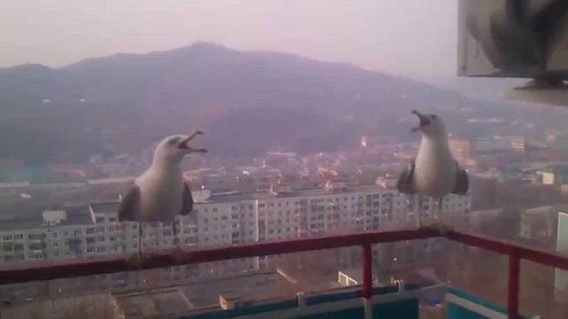 крик чайки (чаек)