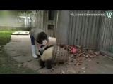 Ох уж эти панды