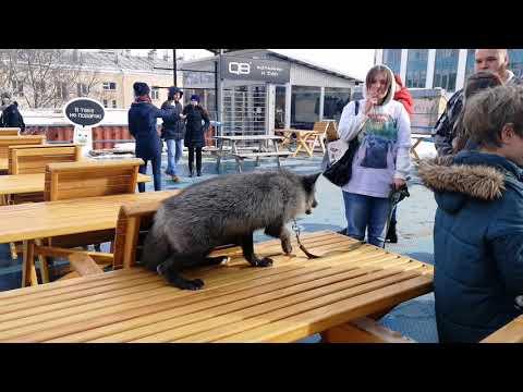 Фестиваль лисицы