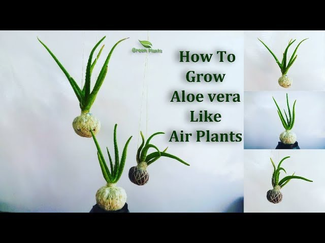 How To Grow Aloe vera Like Air plants | Aloe vera Growing in Your Own Style GREEN PLANTS