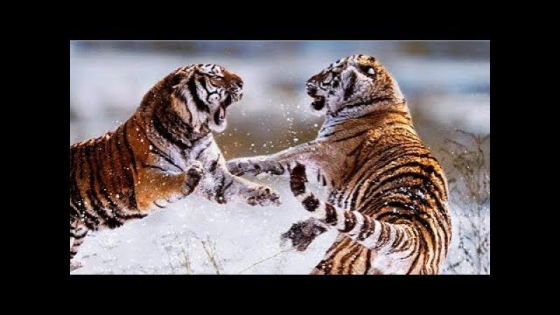 КОРОЛИ УССУРИЙСКИХ ЛЕСОВ. Сибирские тигры на грани вымирания - Документальный фильм » Freewka.com - Смотреть онлайн в хорощем качестве
