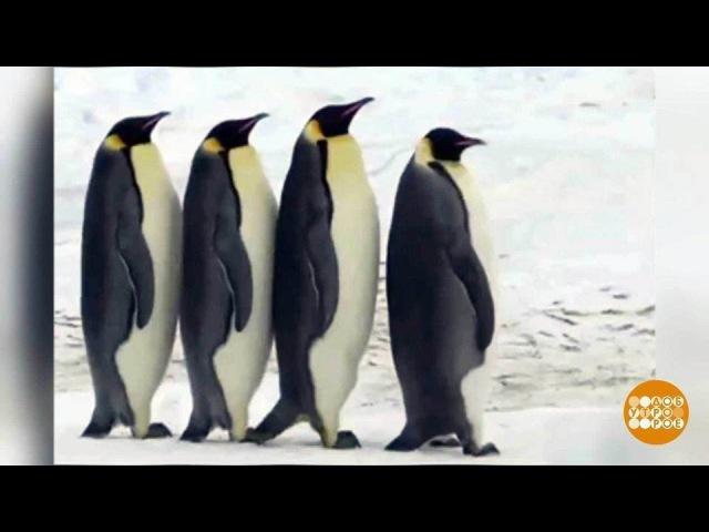Берем пример спингвинов. Доброе утро. Фрагмент выпуска от16.01.2018