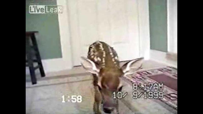 Deer Fawn Comes Through Doggie Door - Deer Video