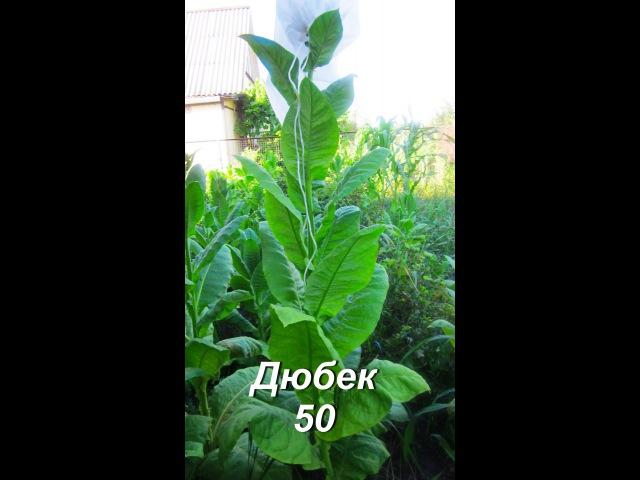 ДНЕВНИК ТАБАКОВОДА № 29 ( 12.07 Обзор сорта табака Дюбек 50 )