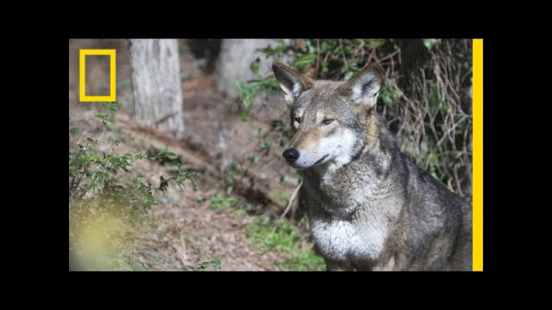 Is It OK to Let These Wolves Go Extinct in the Wild National Geographic