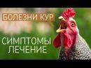 САМЫЕ ЧАСТЫЕ БОЛЕЗНИ У КУР симптомы и лечение куриных заболеваний Ветеринар Павел Шкурманов
