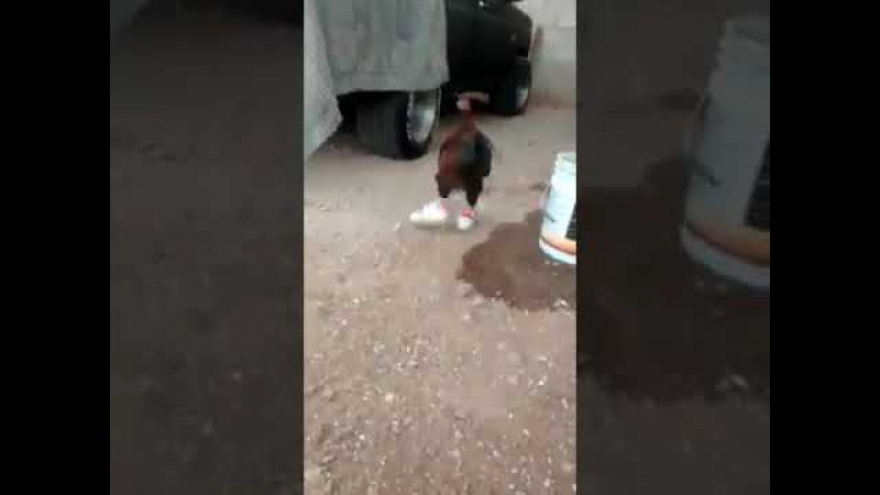 Hen with shoes funny video