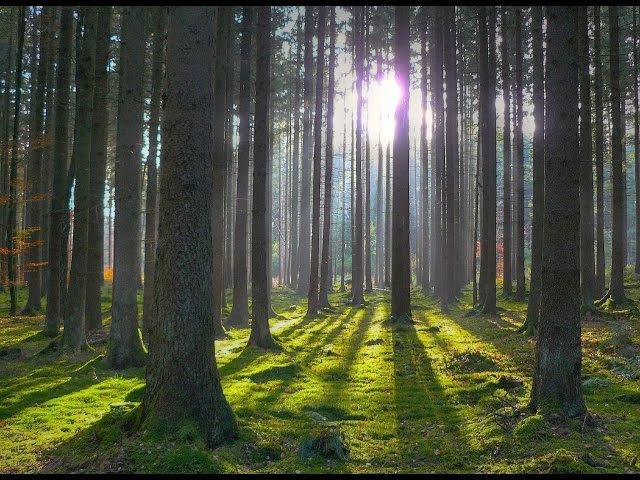 Звуки утреннего леса. Пение птиц. Звуки природы.