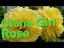 China Girl Rose Tantau
