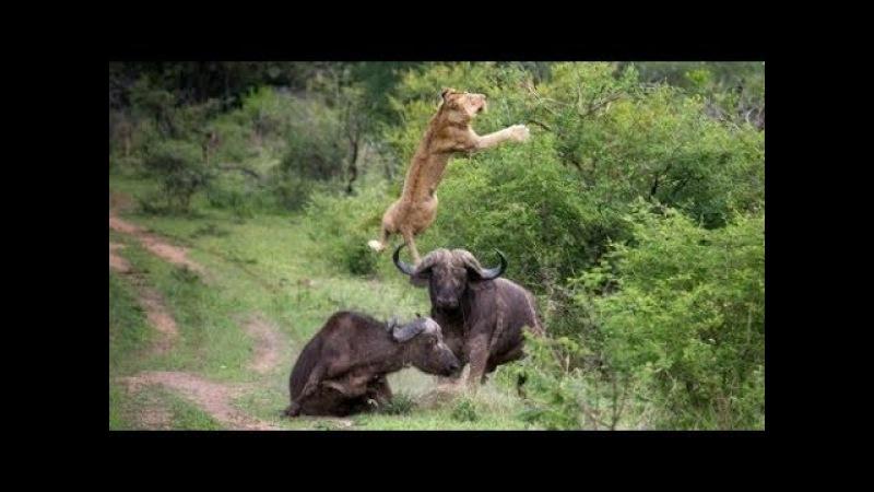 Животный мир. Охота львов. Одинокая буйволица. Леопард рыболов. Медоед и питон.