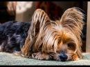 Проблемы с кожей у собаки породы йоркширский терьер Problemas en la piel en Yorkshire