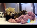 Привет, я красная панда
