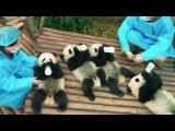 PANDAS - OFFICIAL TRAILER [HD]