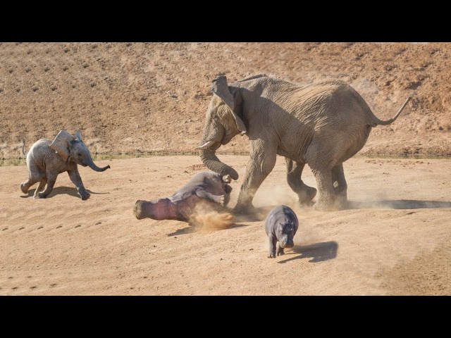 Mother Elephant Defends Her Baby From Two Hippo Animals Hero