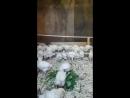 цыплята кобб 500 содержание возрос 1 месяц