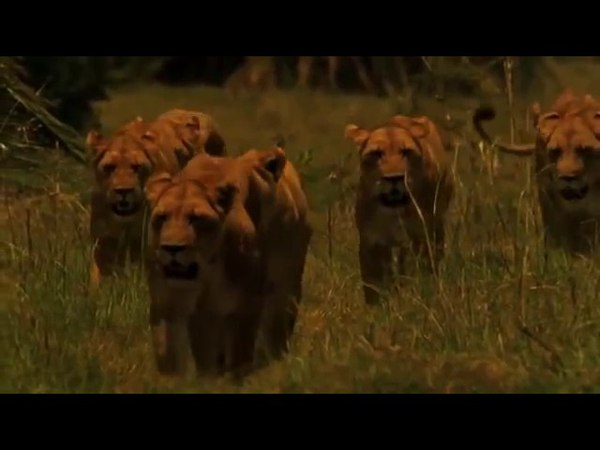 Документальный Фильм Последние львы Львы (Мир животных) Это интересно!