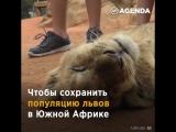 Король львов