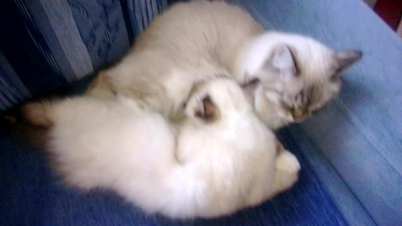 Невские маскарадные котята. Питомник ICE PALACE. Помет А. В 3,5 месяца сосем мамку!