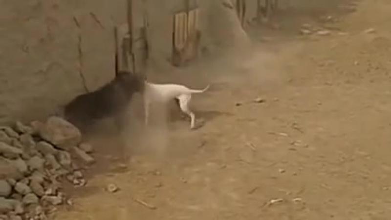 Подсвинок против собаки