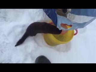 Наглая норка забрала рыбу