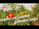 Сорта томатов для теплицы urozhainye gryadki