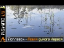 Ловля карася на болоте, живописные места, дикая природа   Karūsu cope, Smārde purvi