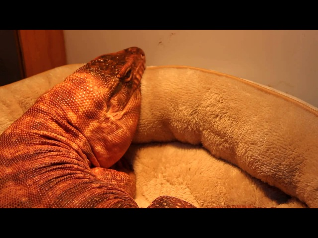 Tired Tegu's New Bed 1
