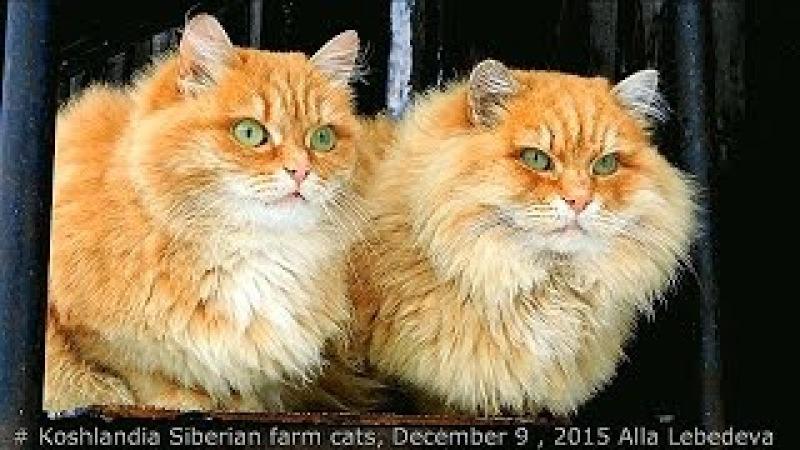 8 Siberian farm cats, Koshlandia, December 9, Пух И СОЛНЫШКО, ВАСЯ ОТТЕПЕЛЬ 2015