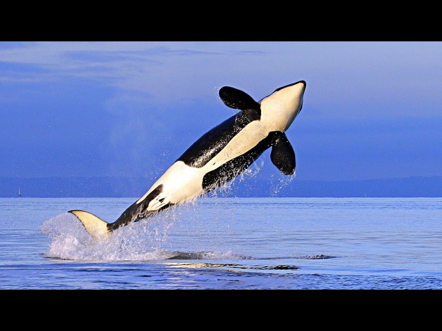 Покоритель всех океанов, машина хищник - Касатка. Документальный фильм HD