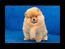 Милые животные/Щенок померанский шпиц/Puppy Pomeranian