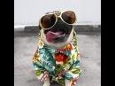 Happy pug · coub, коуб