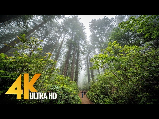 Redwoods Among the Giants in 4K - Unique California's Forest   Relaxing Video with Naure Sounds
