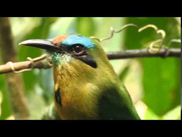 Keel-billed Motmot / Ребристоклювый электрон / Electron carinatum